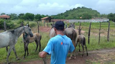 Polícia Rodoviária Federal retira animais abandonados na BR-222 no trecho Itapecuru-Chapadinha