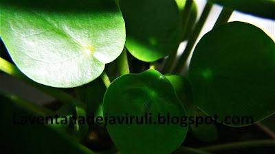 planta-pilea-peperomioides