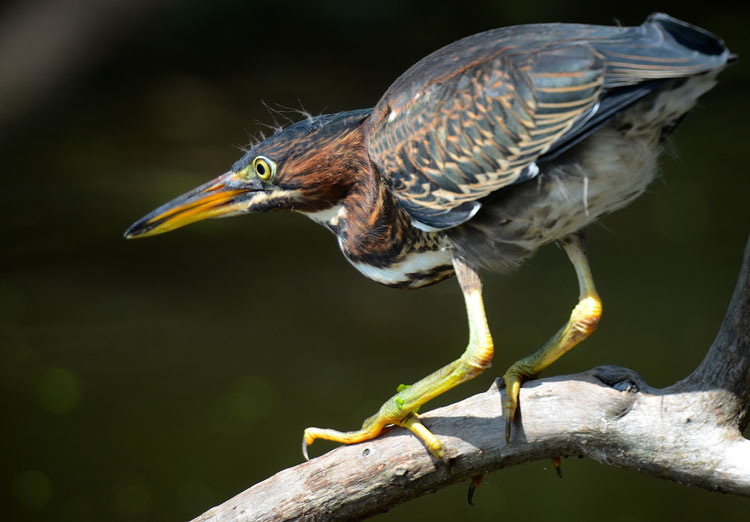 Juvenile Green Heron at the Ibis Pond Rookery on Pinckney Island in Hilton Head, SC