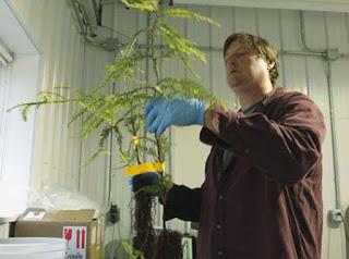 Клониране на червенокоси дървета в Калифорния