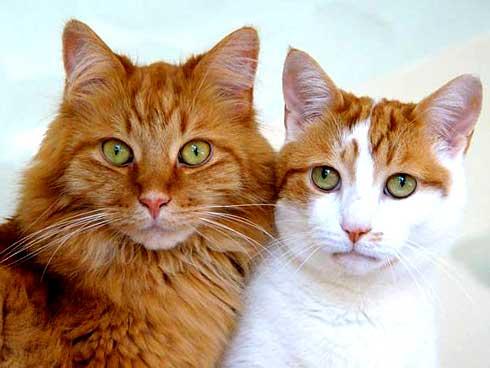 cara merawat kucing bulu lebat dan pendek