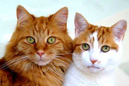 cara merawat bulu kucing agar tetap sehat dan indah
