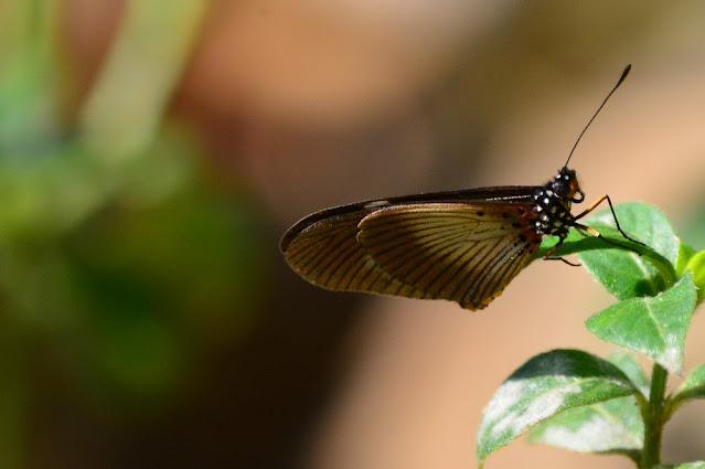 Acraea aganice