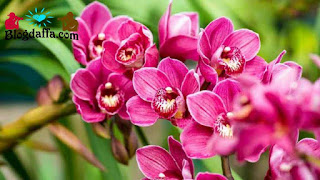 Tanaman hias bunga anggrek Pembawa keberuntungan