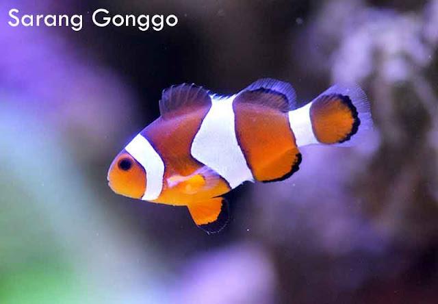 clownfish ikan hias air laut tercantik