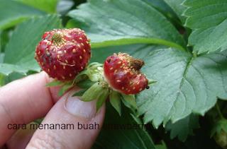 cara menanam buah strawberry dalam pot