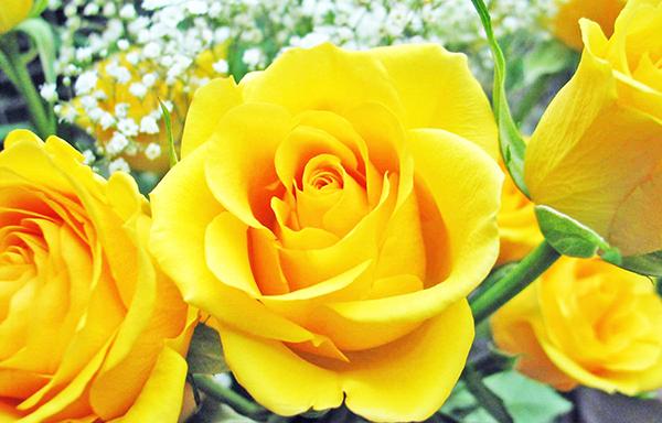 Hoa hồng vàng