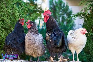 Contoh Hewan Omnivora Ayam