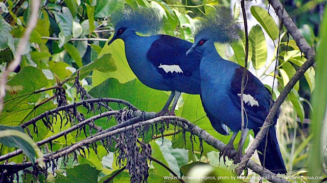 Western-crowned Pigeon in Sorong forest