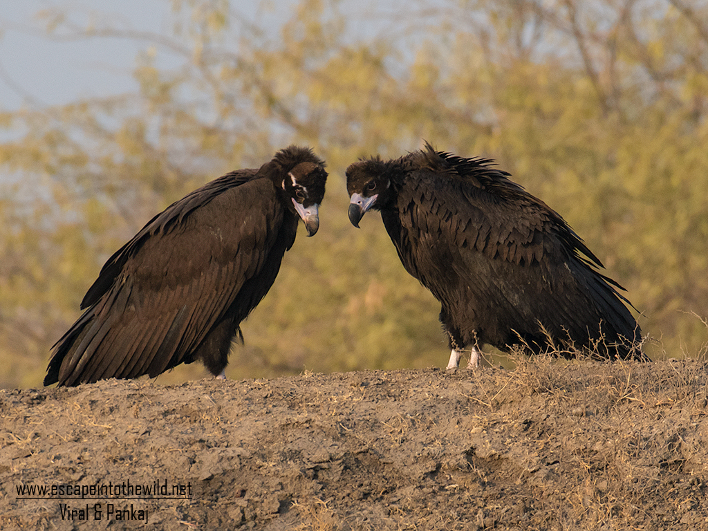 Cinereous Vulture