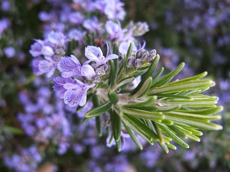 how to grow rosemary in malaysia