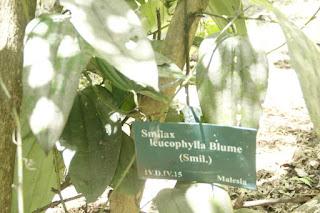 Tanaman canar yakni tanaman menjalar yang sering kita jumpai berada disekitar kita Manfaat Tanaman Canar (Smilax leucophylla)