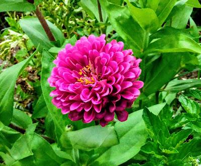magenta zinnia bloom