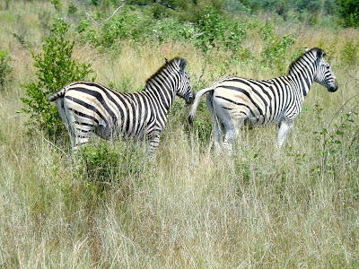 Kruger National Park, safari, South Africa, Zebra