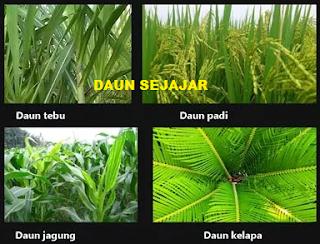 Pengertian fungsi dan struktur daun serta jenis daun Pengertian Fungsi dan Struktur Daun serta Jenis Daun