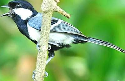 Suara Kicau Burung Gelatik Batu/Wingko Juara Nasional