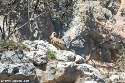 Voltor comú a les roques