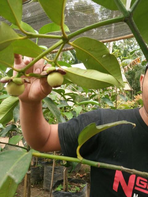 bibit manggis sambung, manggis purworejo, manggis kaligesing, bibit manggis, bibit manggis murah, jual bibit manggis, bibit murah, bibit buah,