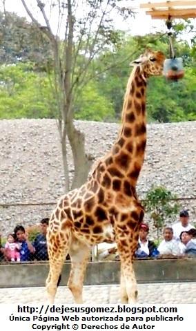 Foto en pleno almuerzo de la jirafa tomada por Jesus Gómez