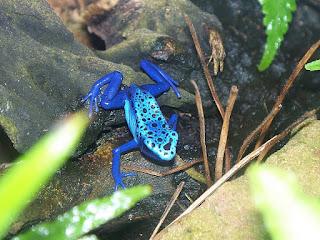 Dendrobate bleu - Dendrobates tinctorius var. azureus - Dendrobates azureus