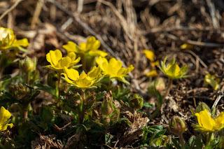 [Rosaceae] Potentilla sp. – likely P. reptans or P. verna
