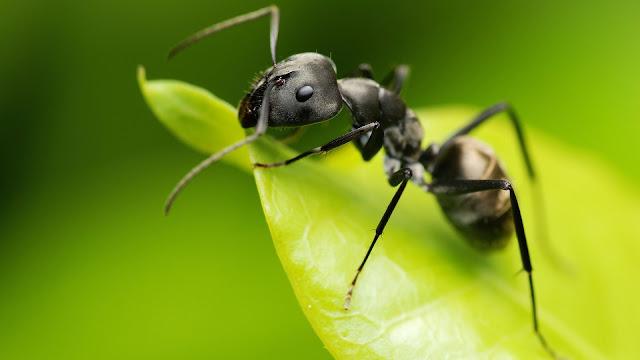 Las Hormigas dominarían el planeta en caso de extinción humana