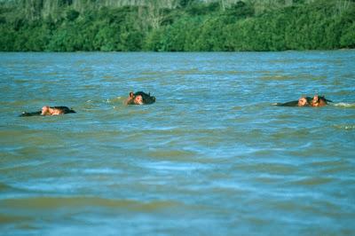hippo, hippos, hippopotamus, Africa,