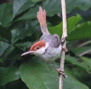 Suara Burung Cinenen Merah