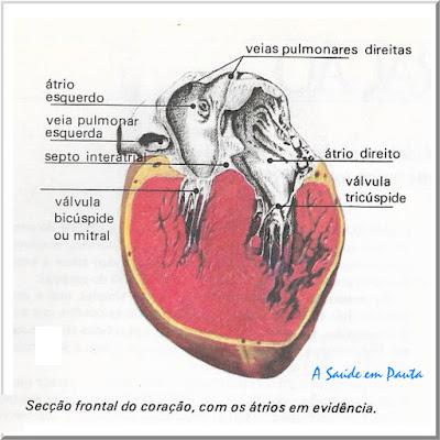 Secção Frontal do coração com os átrios em evidência