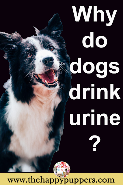 Why dogs drink urine?