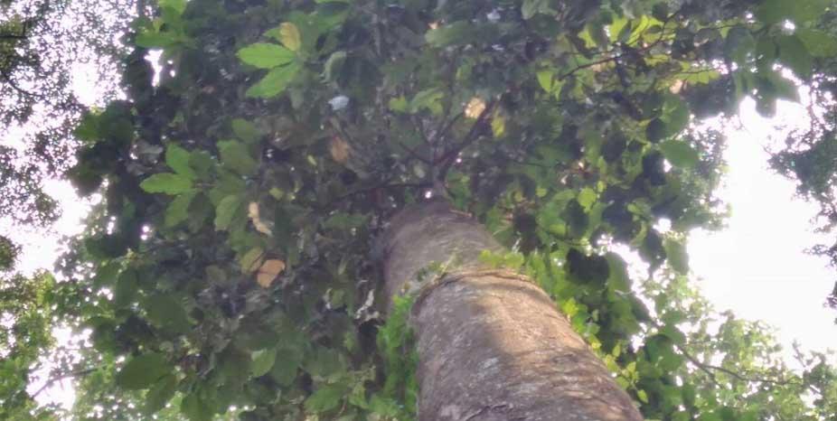 pohon kayu manglid