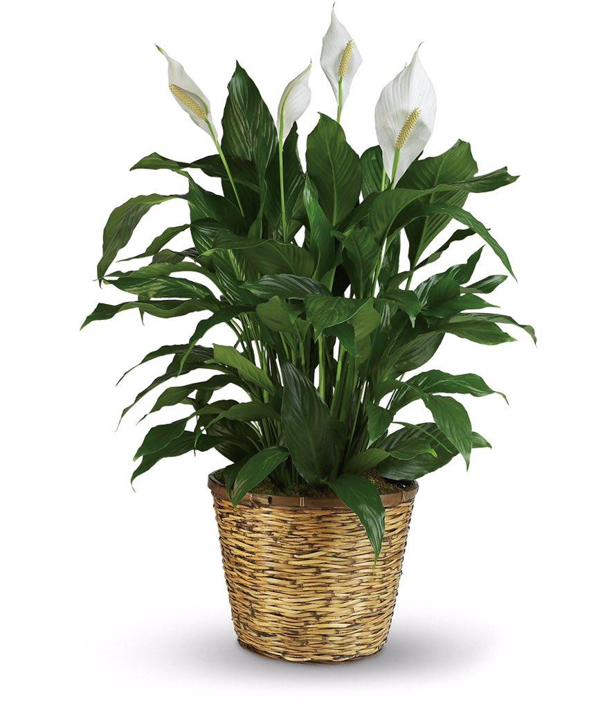 من أجمل النبتات المنزلية نبتة زنبق السلام