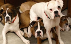My Boxer Family