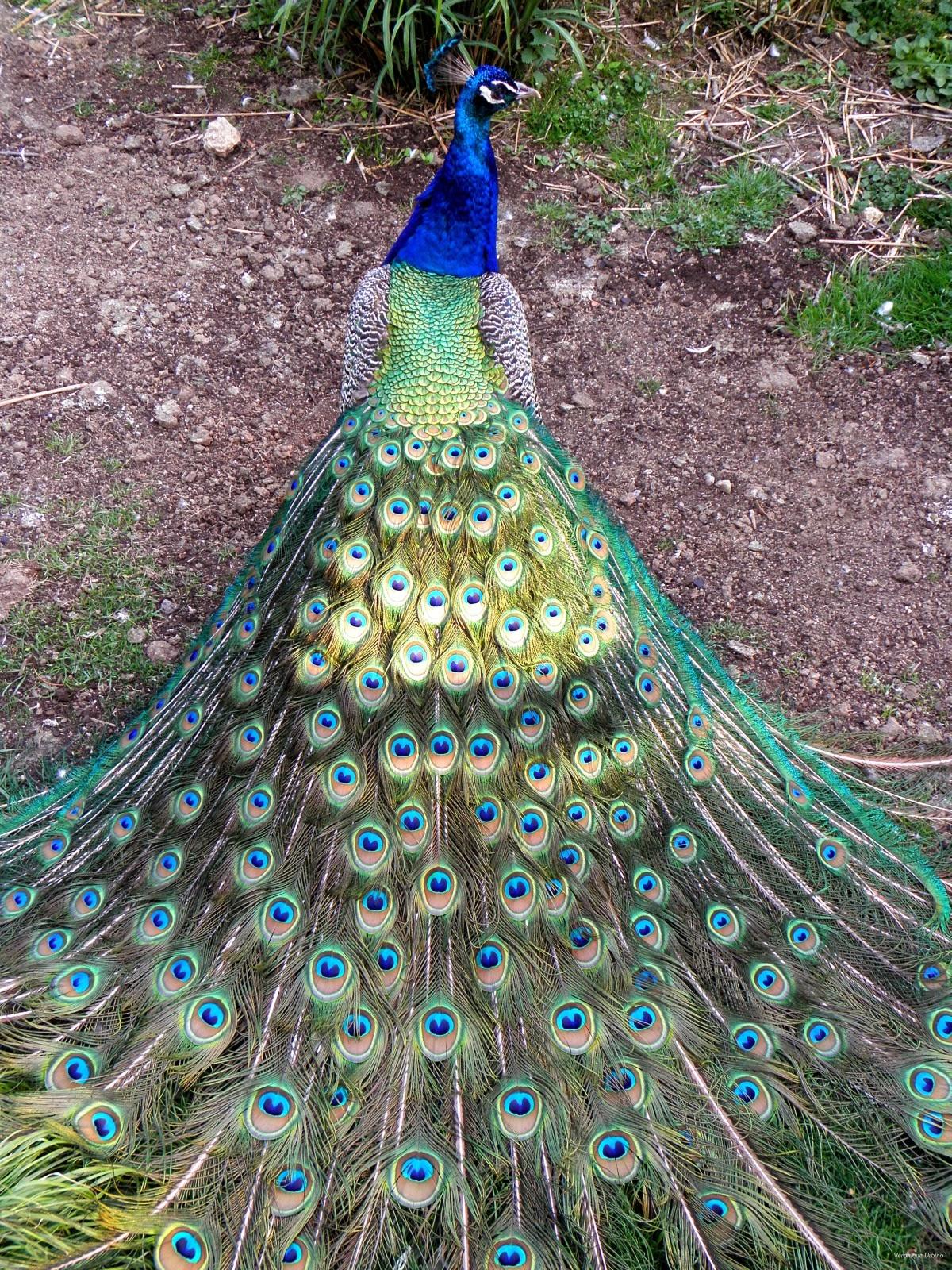 Oiseaux - Signification des plumes d oiseaux ...