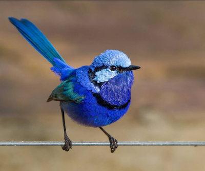 blue wren, margaret river berry farm, bluebird, nature, wildlife, australian birds, australian fauna,