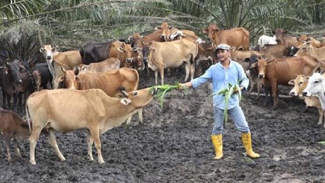 Meski Hanya Lulusan SD, Pria Ini Hasilkan 1 Miliar Perbulan dari Hasil Ternak Sapi