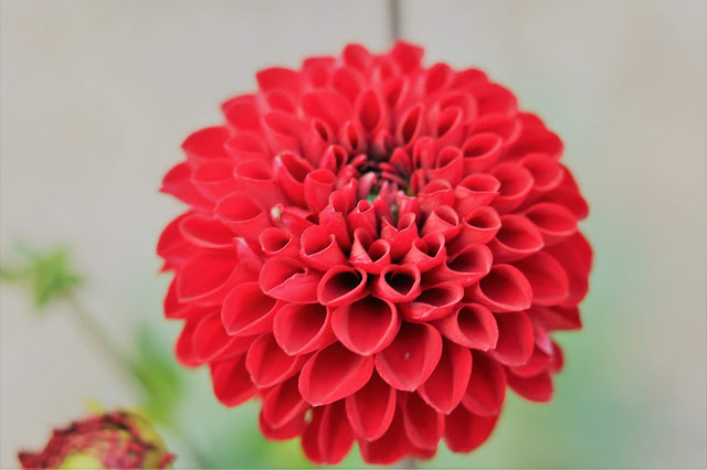 dahlia, red, flower, farm, jemma, book a bloom, homegrown, gardening