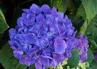 A flor é mais comercializada em vasos para decoração de diversos ambientes e espaços internos. O plantio em canteiros também é utilizado para embelezar jardins de residências, estabelecimentos comerciais e locais públicos.