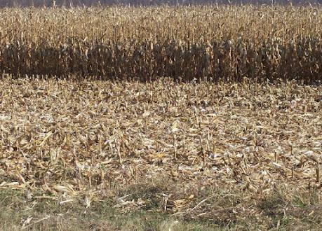 jerami jagung brangkasan madani farm