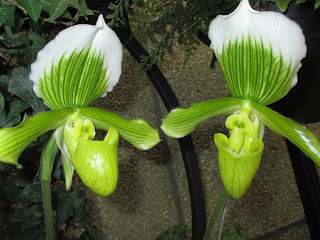 conspiring orchids
