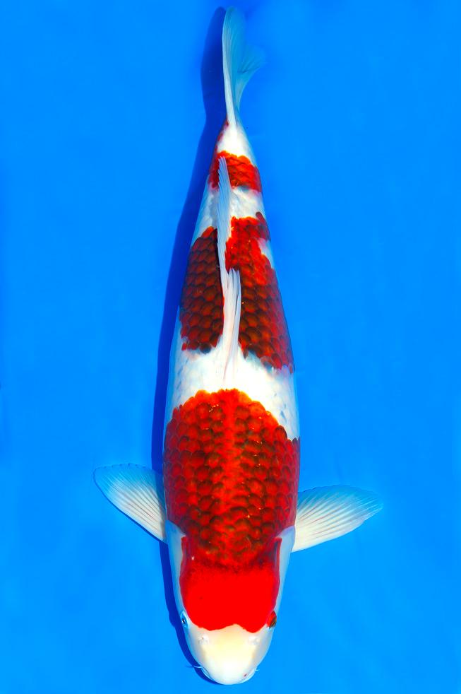 jenis ikan koi koromo