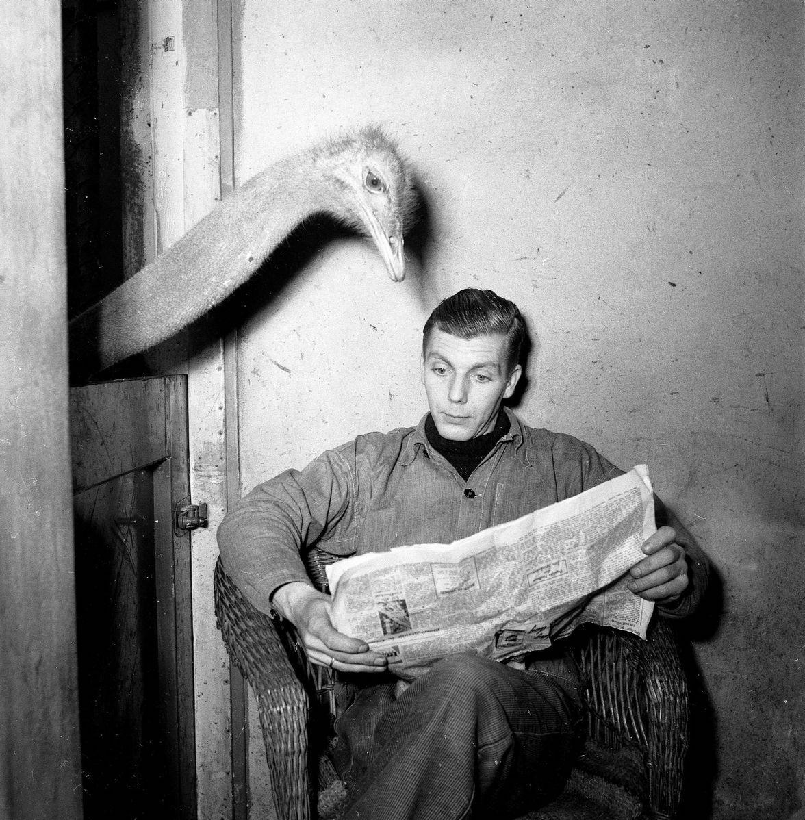 ostrich reads newspaper over man's shoulder