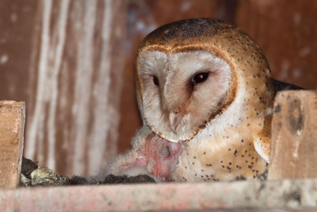 Robin Loznak Photography: Baby barn owls in Oregon