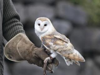 melatih burung hantu FOF atau feed on fist