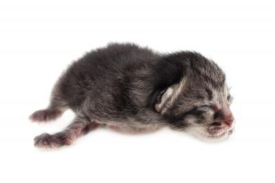 Tips Bagaimana Merawat Kucing Anak Kucing Baru Lahir