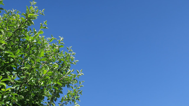 Apple tree branches and lots of blue sky.