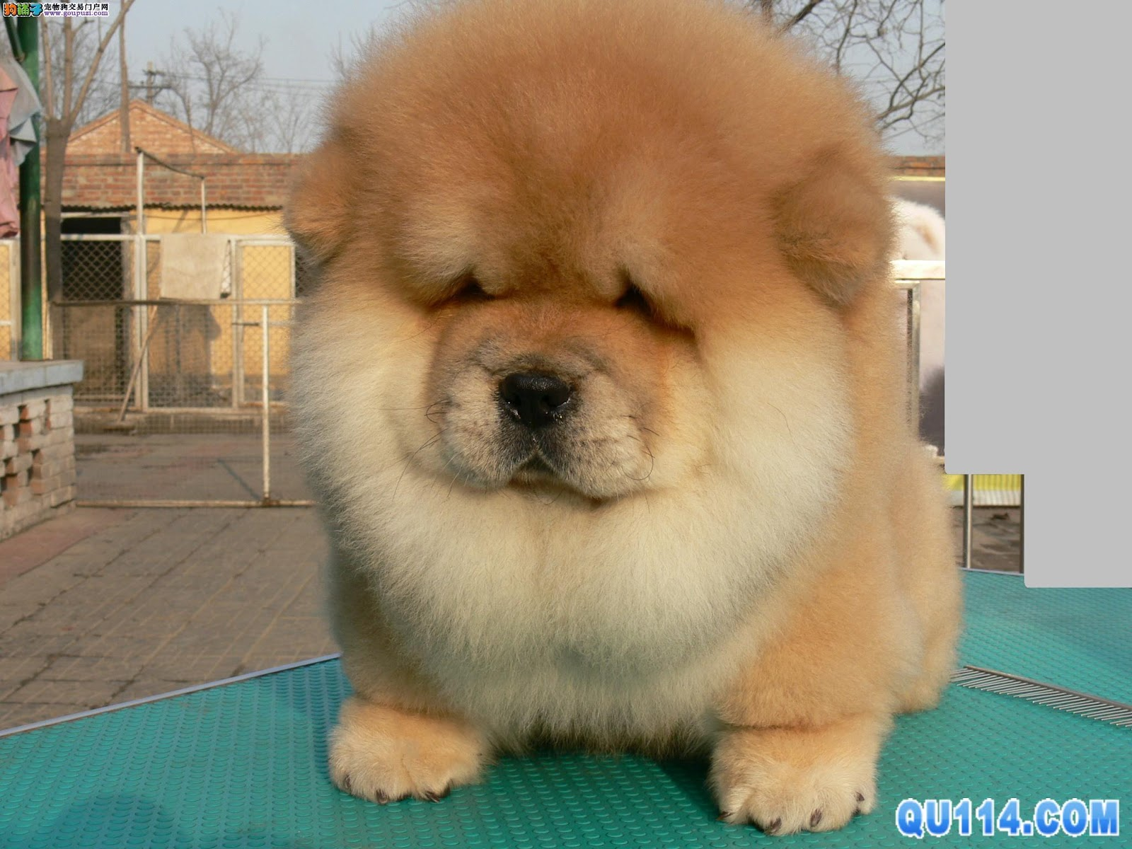 Cute Baby Animal Pictures Wallpapers 寵物 鬆獅犬