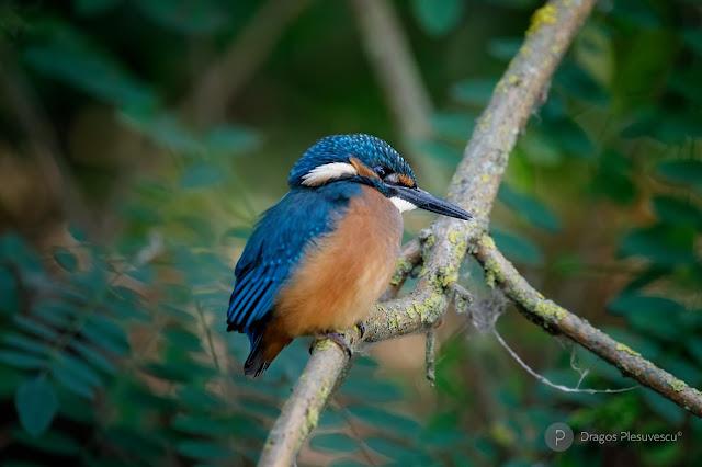 Kingfisher (Pescaras albastru / Ivan Pescarul / Alcedinide), Juvenile