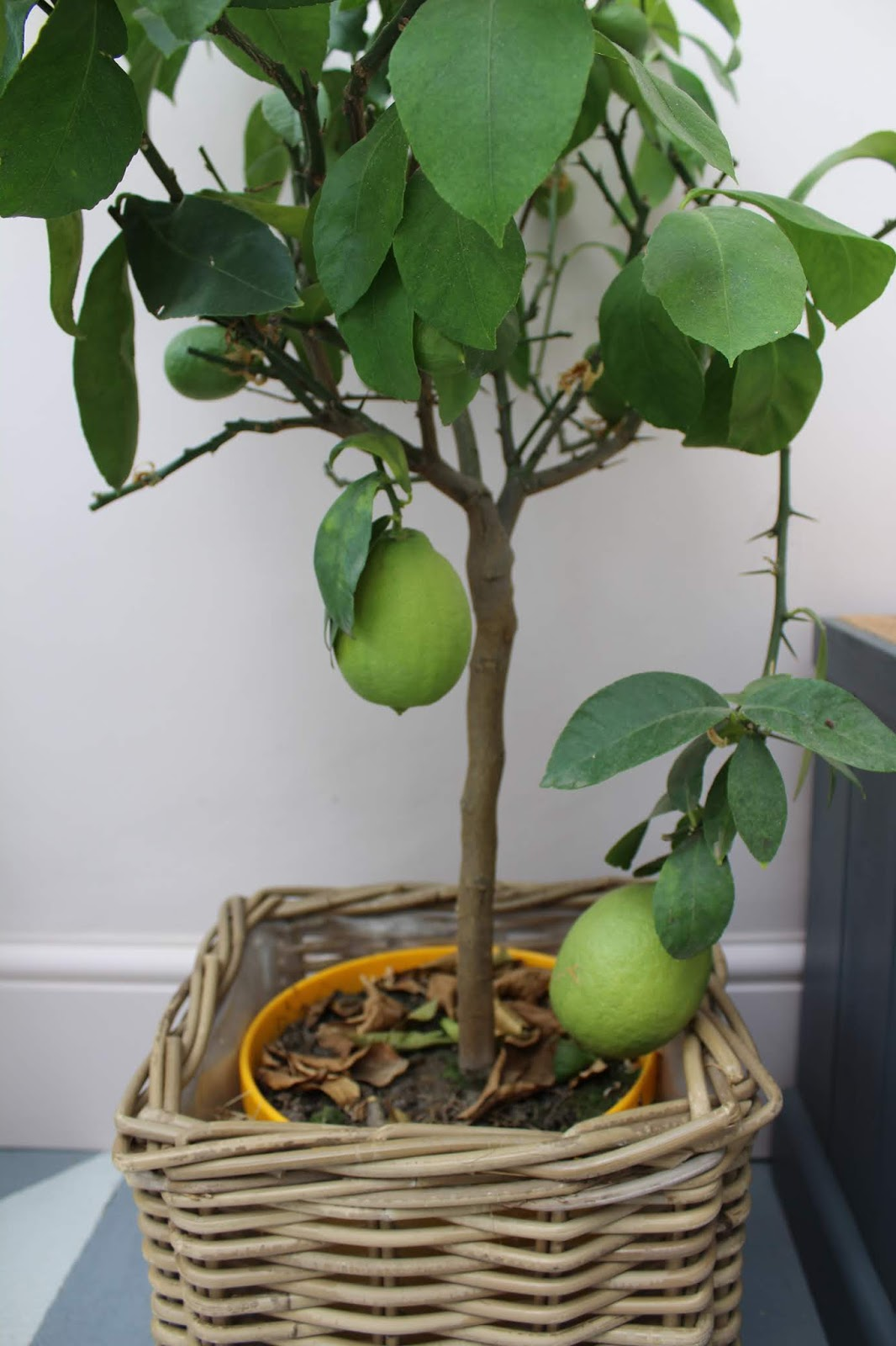 Growing lemons in a conservatory