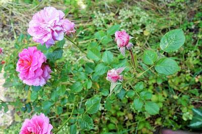 Pinkster roosjes Atelier de Vier Jaargetijden